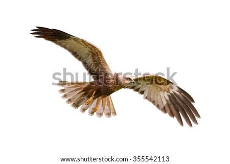 Birds of prey - flying Marsh Harrier (Circus aeruginosus) isolated on white background - stock photo