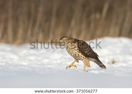 Birds of prey - Goshawk (Accipiter gentilis) - stock photo