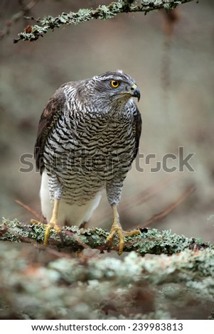 Birds of prey Goshawk sitting on the branch in the forest - stock photo
