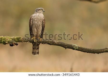 Birds of prey - Sparrowhawk (Accipiter nisus) - stock photo