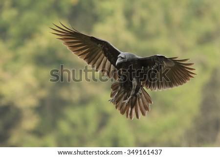 Birds - Raven (Corvus corax) - stock photo