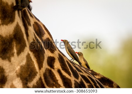 Birds resting over a Giraffe in the South Luangwa National park, Zambia, Africa - stock photo