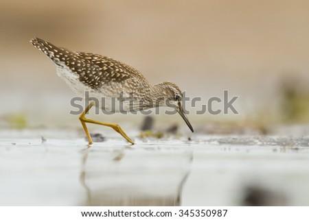 Birds - Wood Sandpiper (Tringa glareola) - stock photo