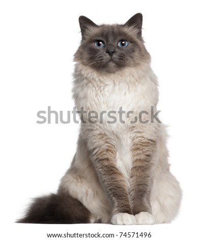 Birman cat, 2 and a half years old, sitting in front of white background - stock photo