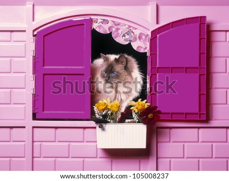 Birman cat plays inside a childs pink house - stock photo
