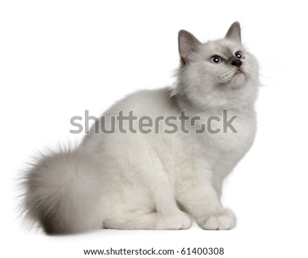 Birman Kitten, 4 months old, sitting in front of white background - stock photo