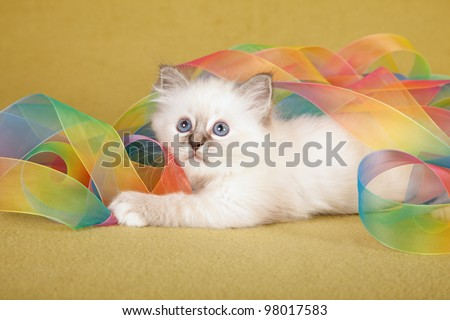 Birman kitten playing with tie dye ribbons on green background - stock photo