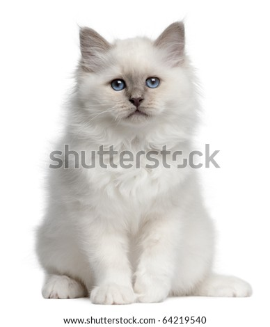 Birman kitten, 10 weeks old, sitting in front of white background - stock photo