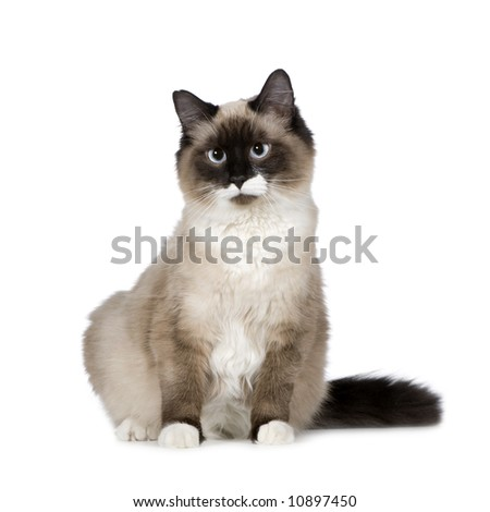 Birman (1 years) in front of a white background - stock photo