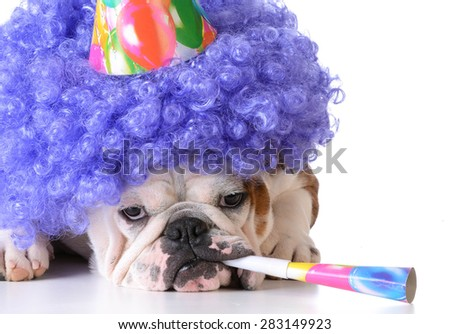 birthday dog - bulldog humanized as female with wig and hat blowing on horn - stock photo
