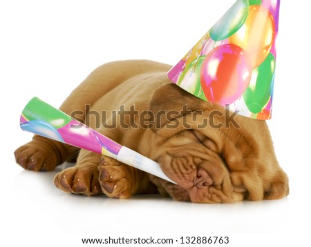 birthday pupp - dogue de bordeaux puppy blowing on horn and wearing birthday hat isolated on white background - stock photo