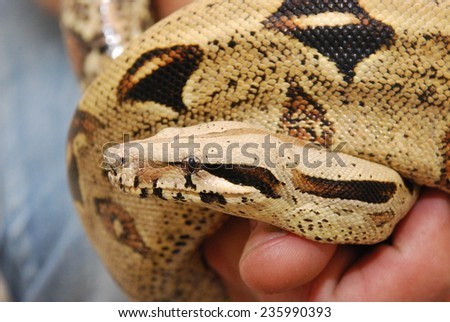 bis snake Ghost Columbian red-tailed boa (Boa constrictor constrictor)  in the hand - stock photo