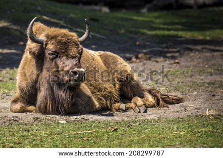 Bison - animals that live in nature reserves in Europe - stock photo