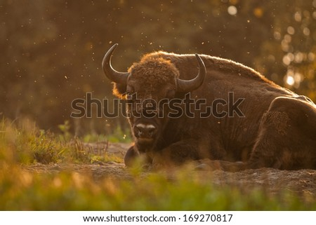 Bison at the sunset - stock photo