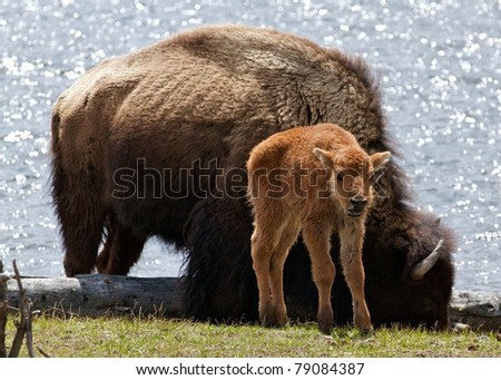 Bison Baby - stock photo