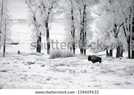 Bison, Bison bison, Yellowstone, USA - stock photo