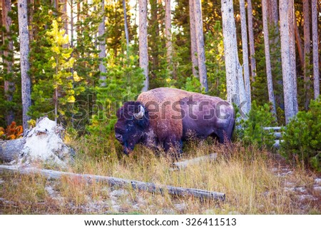 Bison Buffalo in a forest in Yellowstone National Park Wyoming - stock photo