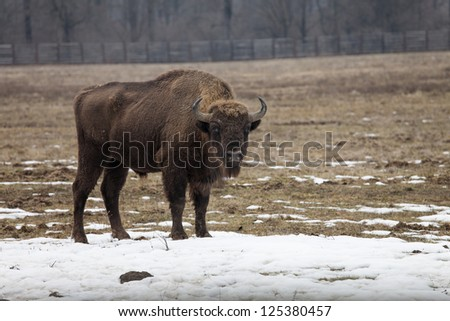 Bison bull looking straight to camera - stock photo