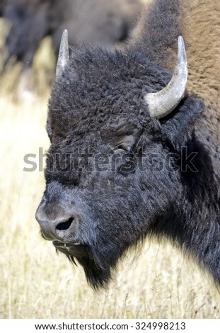 Bison, can be found in Yellowstone and Grand Teton National Parks as well as several Rocky Mountains and Great Plains states and were keystone species for Native American tribes. - stock photo