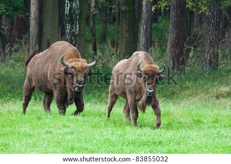 bison couple - stock photo