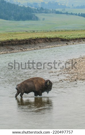 Bison Crossing a river in Yellowstone National Park - stock photo