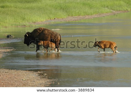 Bison family crossing a shallow river in North Dakota. - stock photo