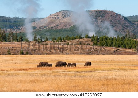 Bison grazing near a thermal area in Yellowstone National Park Wyoming. - stock photo