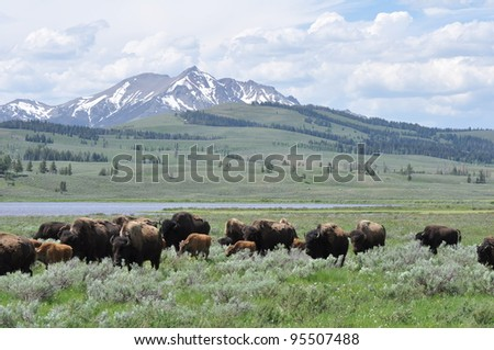 Bison herd in a valley in Yellowstone National Park, Wyoming - stock photo