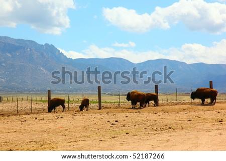 bison in Albuquerque - stock photo