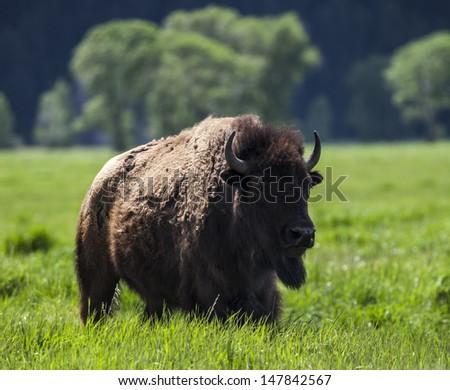 Bison in Grand Teton National Park - stock photo