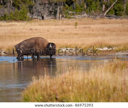 Bison in river during fall in Yellowstone park - stock photo