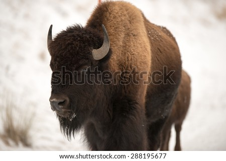 Bison on a roadway in Yellowstone National Park - stock photo