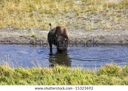 Bison on a watering place in well-known Yellowstone national park - stock photo