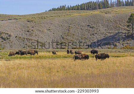Bison on the Grasslands in the Hayden Valley in Yellowstone National Park - stock photo