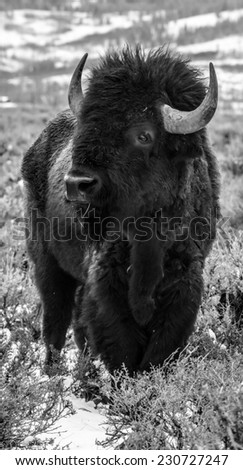 Bison portrait in black and white, bison facing left - stock photo