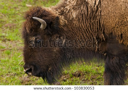 Bison Profile - stock photo