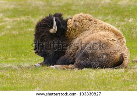 Bison Resting in Yellowstone National Park - stock photo