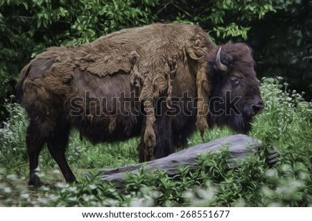 Bison Shedding its Winter Coat - stock photo
