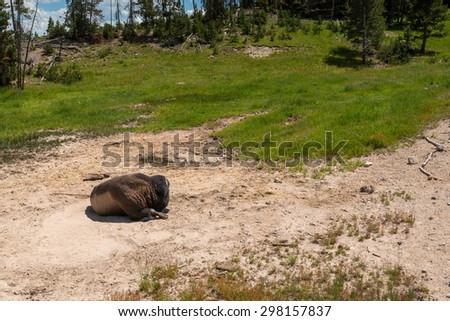 bison sleep  in hot spring area in yellow stone,Wyoming,Usa - stock photo