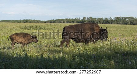Bison walking in a field with its young, Lake Audy Campground, Riding Mountain National Park, Manitoba, Canada - stock photo