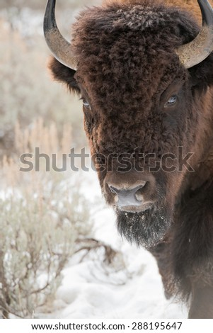 Bison walking into the frame from the right; looking directly at photographer - stock photo