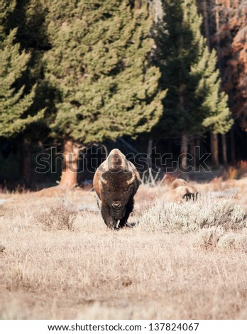 Bison walking toward the camera early spring - stock photo