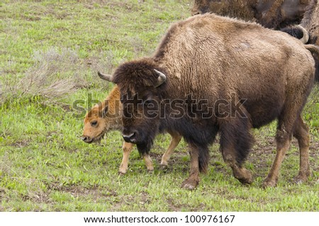 Bison with Calf in Yellowstone National Park - stock photo