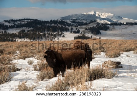 Bison with snow covered mountains in the background - stock photo