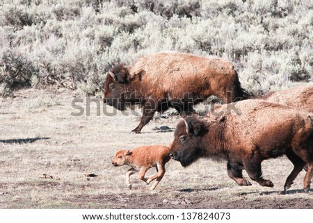 Bisons and calf running, early spring in Yellowstone - stock photo