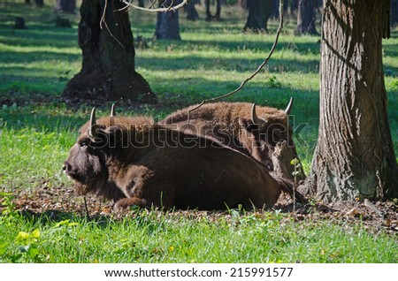 Bisons in reserve near Moscow - stock photo