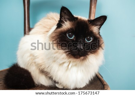 Bitman cat is sitting on a chair and looking at the camera - stock photo