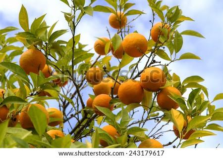 bitter orange - stock photo