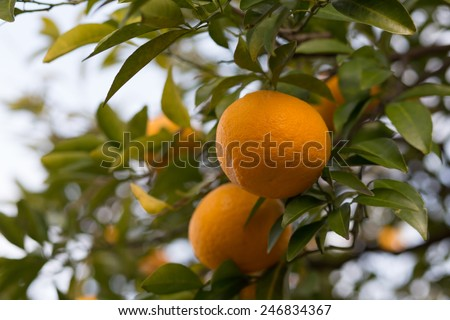 Bitter orange fruits on a tree (Citrus aurantium var. daidai) - with copy space - stock photo