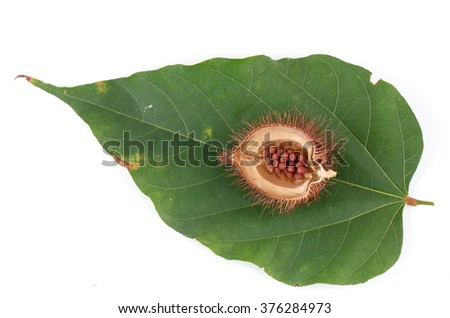 Bixa orellana or Anatto tree flowers on a white background.  - stock photo